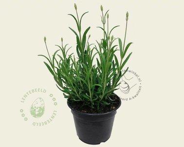 Klik hier om Lavandula angustifolia 'Munstead' te kopen