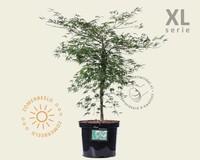 Acer palmatum 'Dissectum' - XL