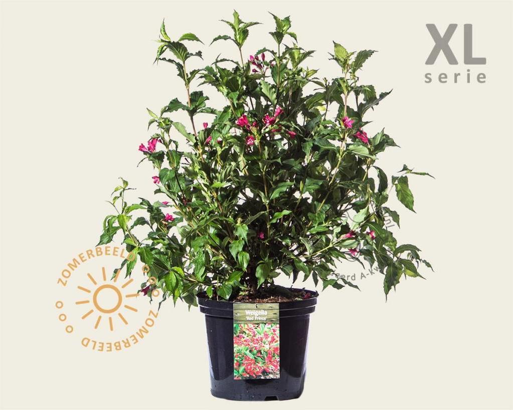 Weigela florida 'Red Prince' - XL