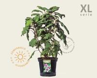 Hydrangea aspera 'Marcophylla' - XL