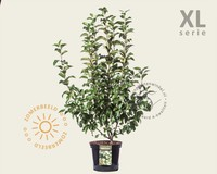Malus 'Evereste' - XL