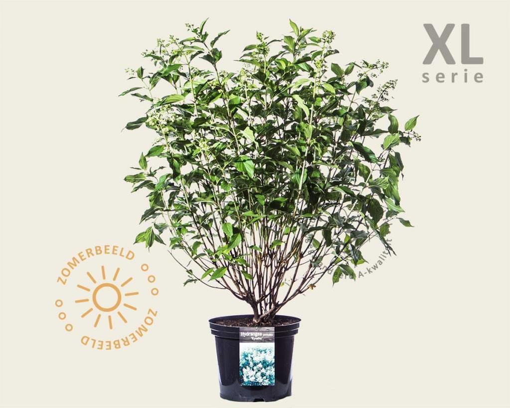 Hydrangea paniculata 'Kyushu' - XL