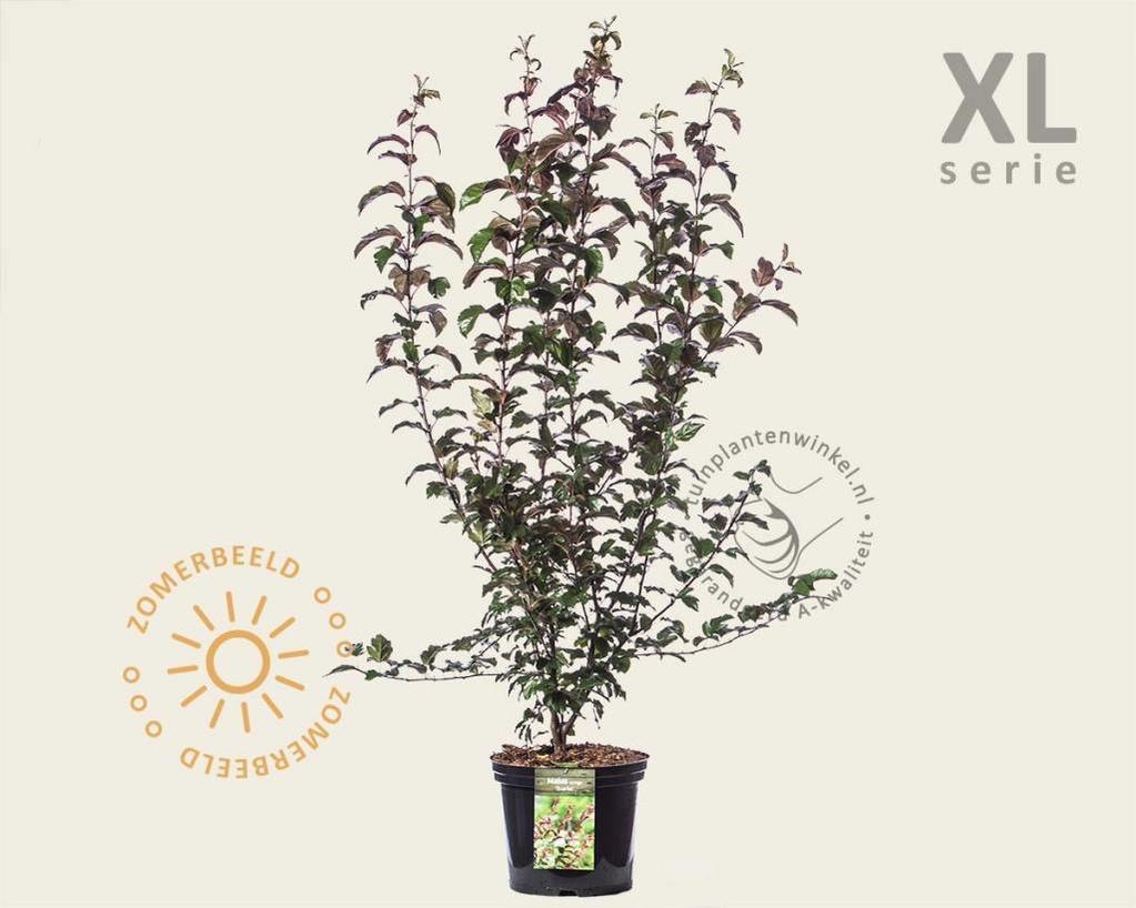 Malus toringo 'Scarlett' - XL