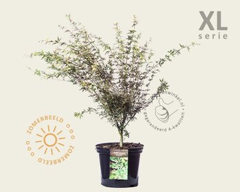 Acer palmatum 'Butterfly' - XL