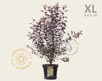 Prunus cistena - XL