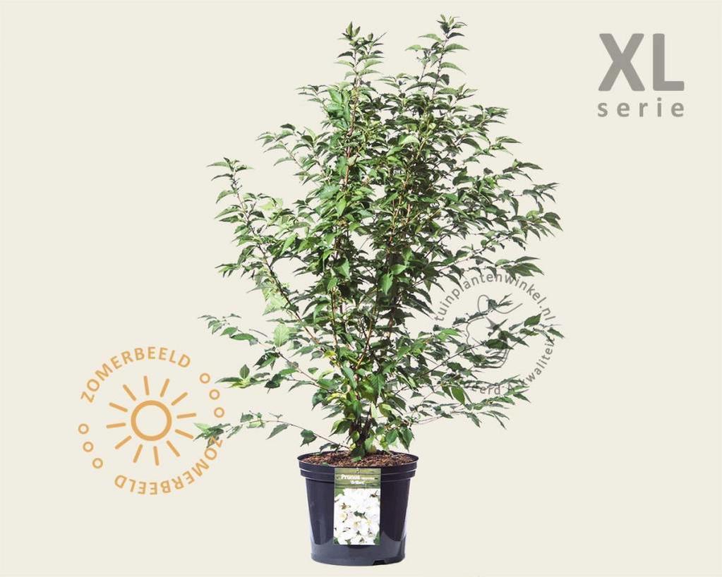 Prunus nipponica 'Brilljant' - XL