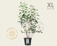 Amelanchier lamarckii - XL