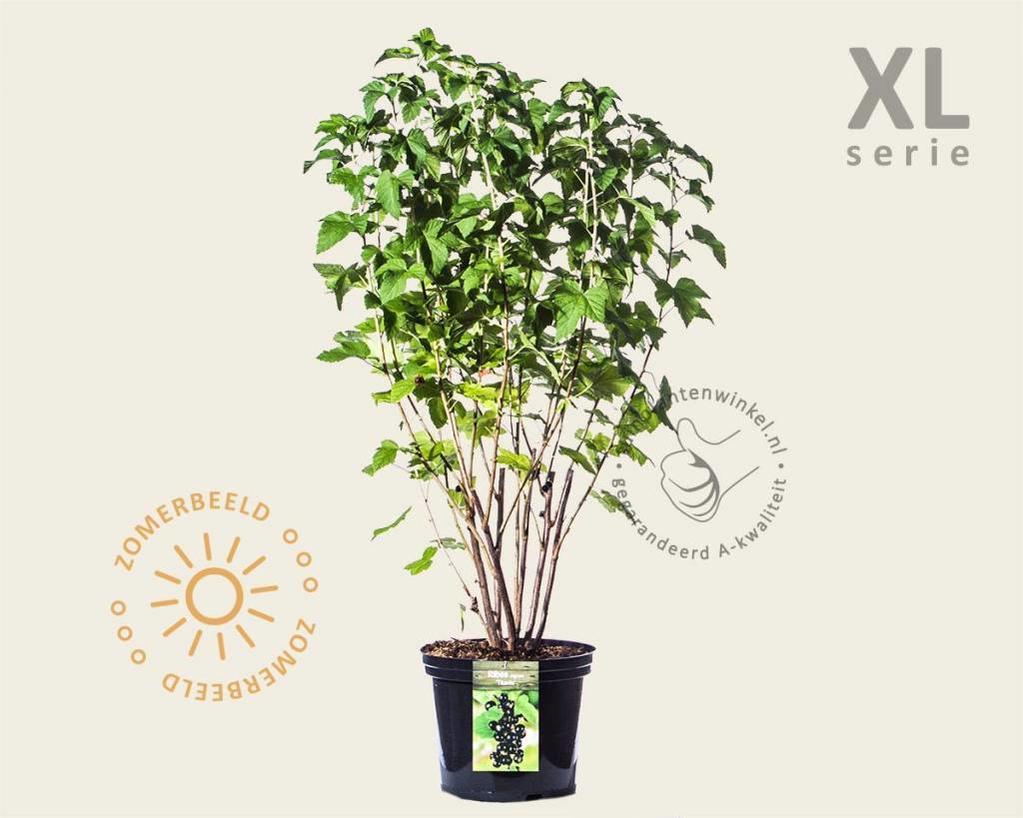 Ribes nigrum 'Titania' - XL