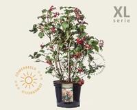 Viburnum opulus 'Compactum' - XL