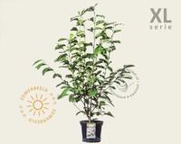 Magnolia soulangeana - XL