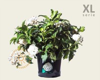 Hydrangea macrophylla 'Wit' - XL