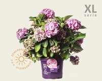 Hydrangea macrophylla 'Forever & Ever' (Roze) - XL
