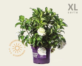 Hydrangea macrophylla 'Forever & Ever' (Wit) - XL