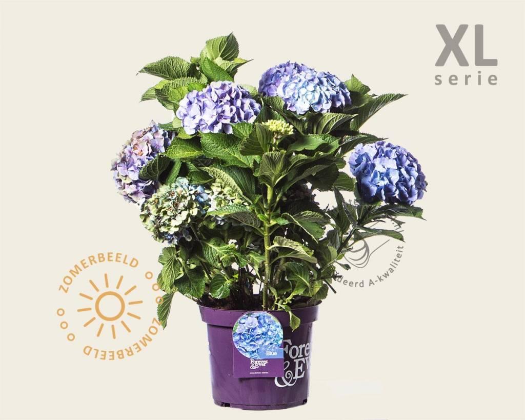 hydrangea macrophylla 39 forever ever 39 blauw xl. Black Bedroom Furniture Sets. Home Design Ideas