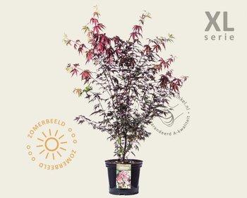 Acer palmatum 'Atropurpureum' 080/100 - XL