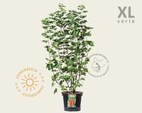 Ribes rubrum 'Jonkheer van Tets' - XL