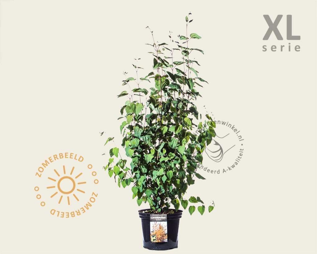 Cercidiphyllum japonicum - XL