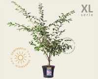 Prunus 'Accolade' - XL
