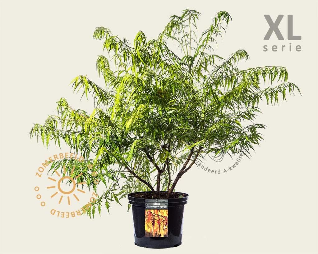 Rhus typhina 'Tiger Eyes' - XL