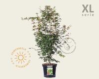 Acer palmatum - XL