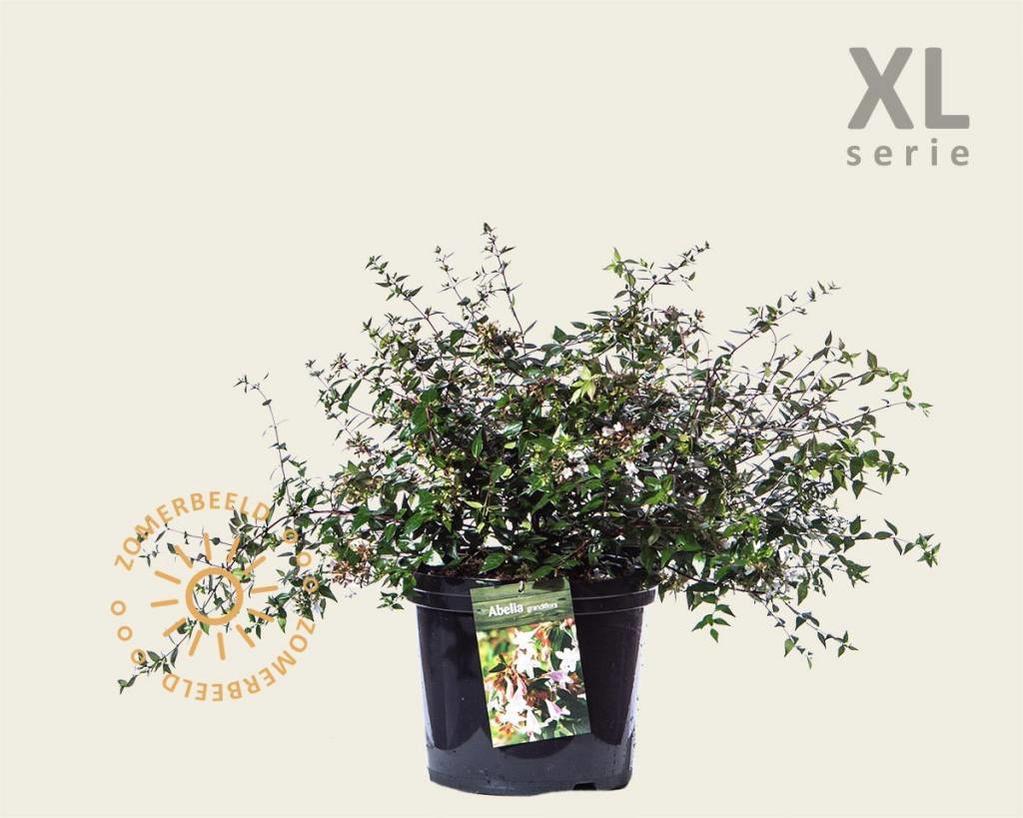Abelia grandiflora - XL