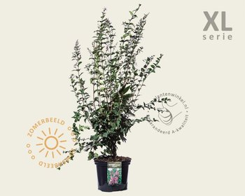 Syringa microphylla 'Superba' - XL