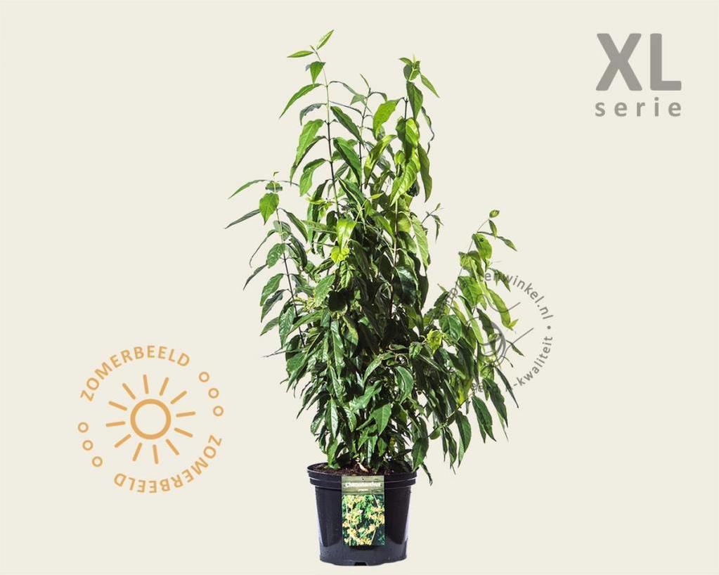 Chimonanthus praecox - XL