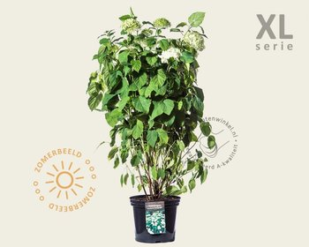 Hydrangea arborescens 'Annabelle' - XL