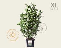 Magnolia 'Susan' - XL