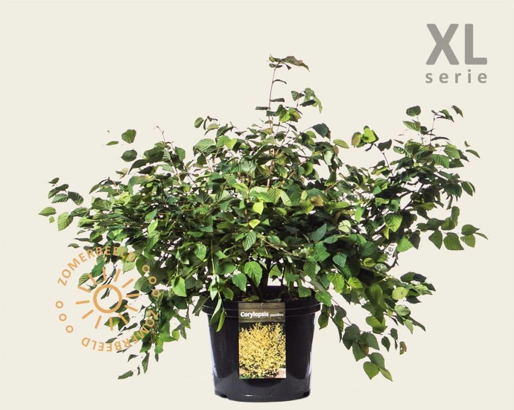 Corylopsis pauciflora - XL