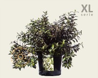 Weigela 'Black & White' - XL