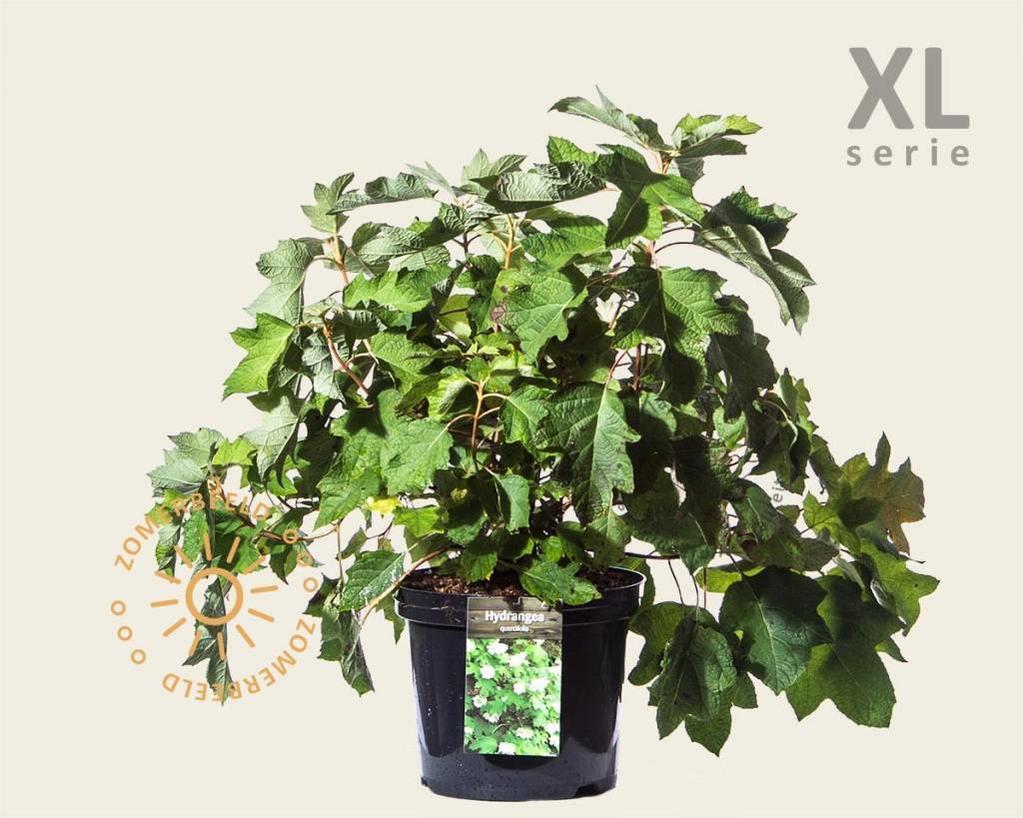 Hydrangea quercifolia - XL