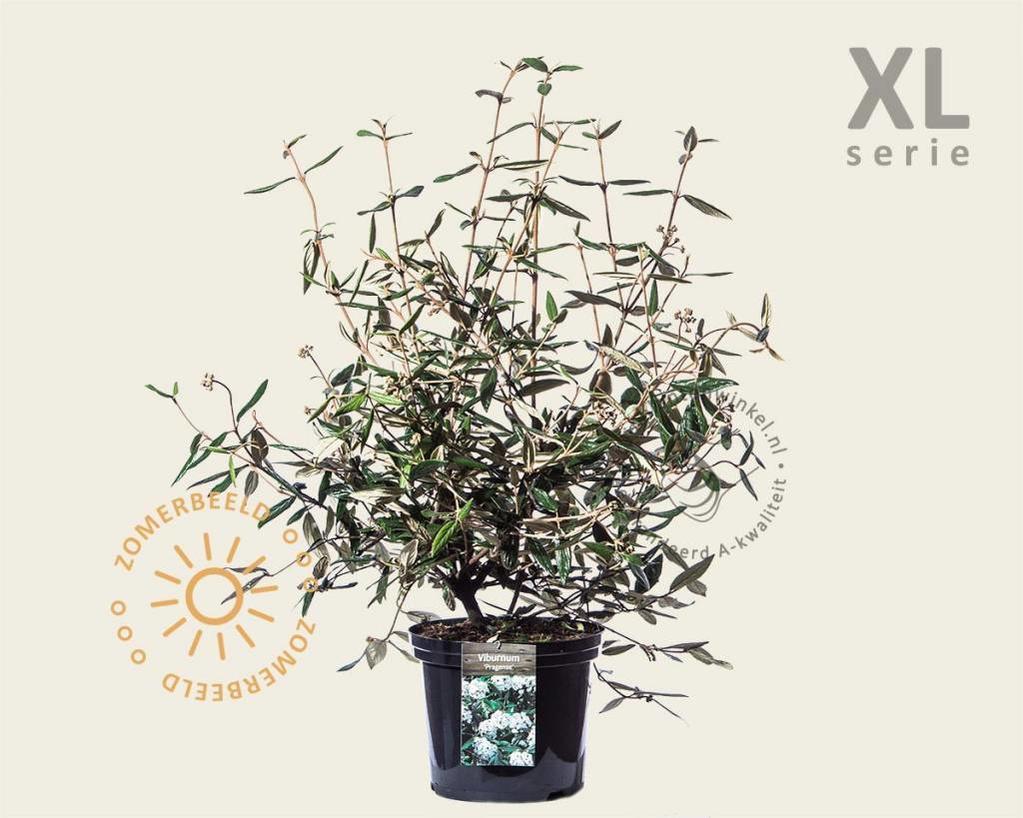 Viburnum 'Pragense' - XL
