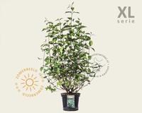 Cornus alba 'Kesselringii' - XL