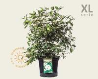 Viburnum plicatum 'Watanabe' - XL