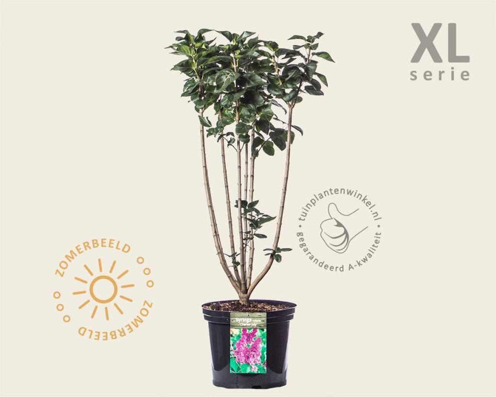 Syringa vulgaris 'Charles Joly' - XL