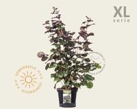 Corylus maxima 'Purpurea' - XL