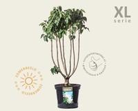 Syringa vulgaris 'Madame Lemoine' - XL