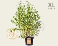 Cornus sanguinea 'Midwinter Fire' - XL