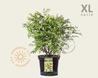 Sorbaria sorbifolia 'Sem' - XL