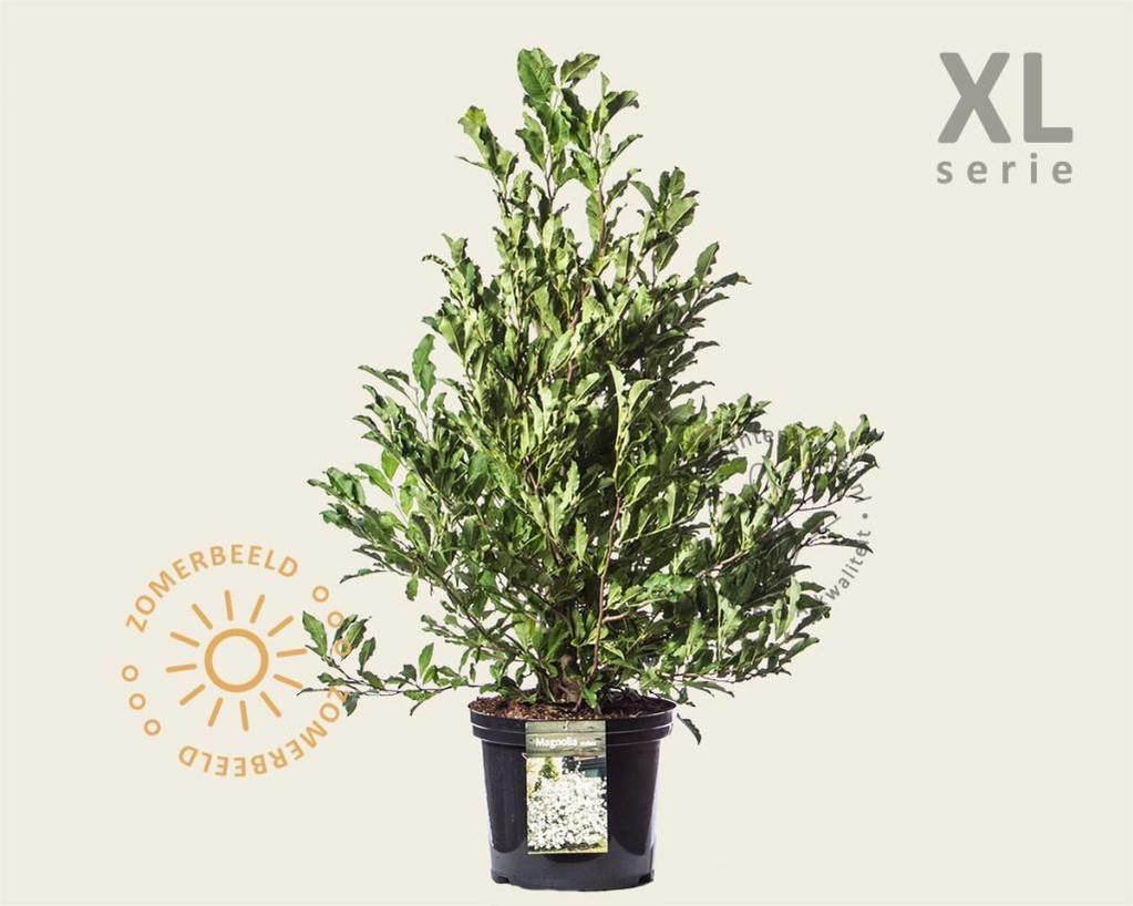 Magnolia stellata - XL