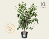 Cornus kousa 'China Girl' - XL