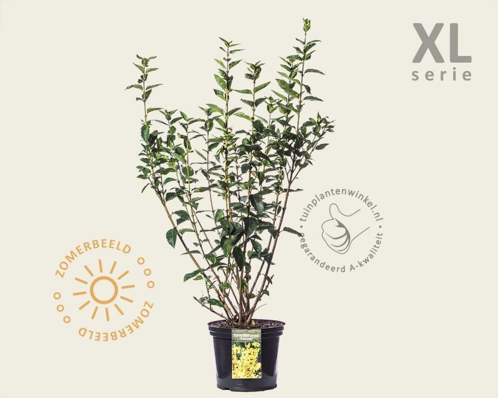 Forsythia intermedia 'Goldrausch' - XL