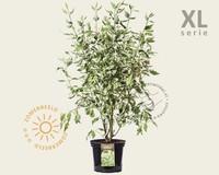 Cornus alba 'Elegantissima' - XL