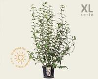 Viburnum bodnantense 'Charles Lamont' - XL