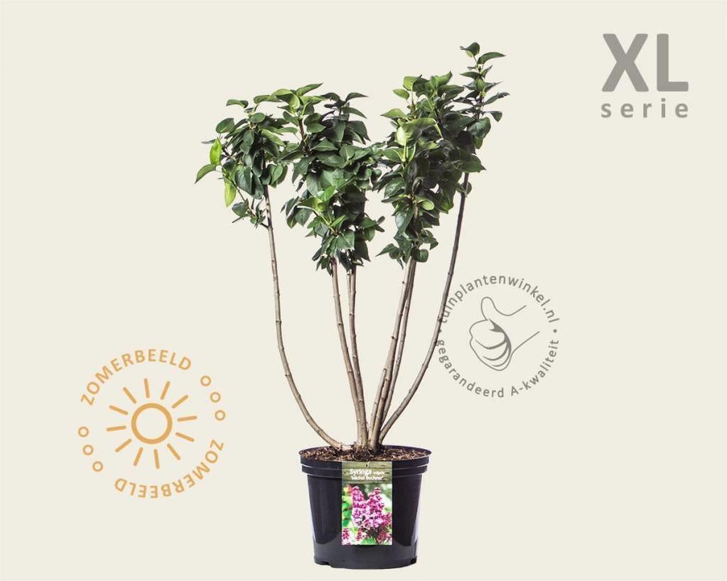 Syringa vulgaris 'Michel Buchner' - XL
