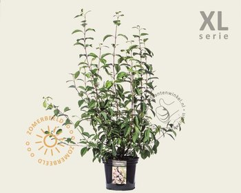 Viburnum bodnantense 'Dawn' - XL