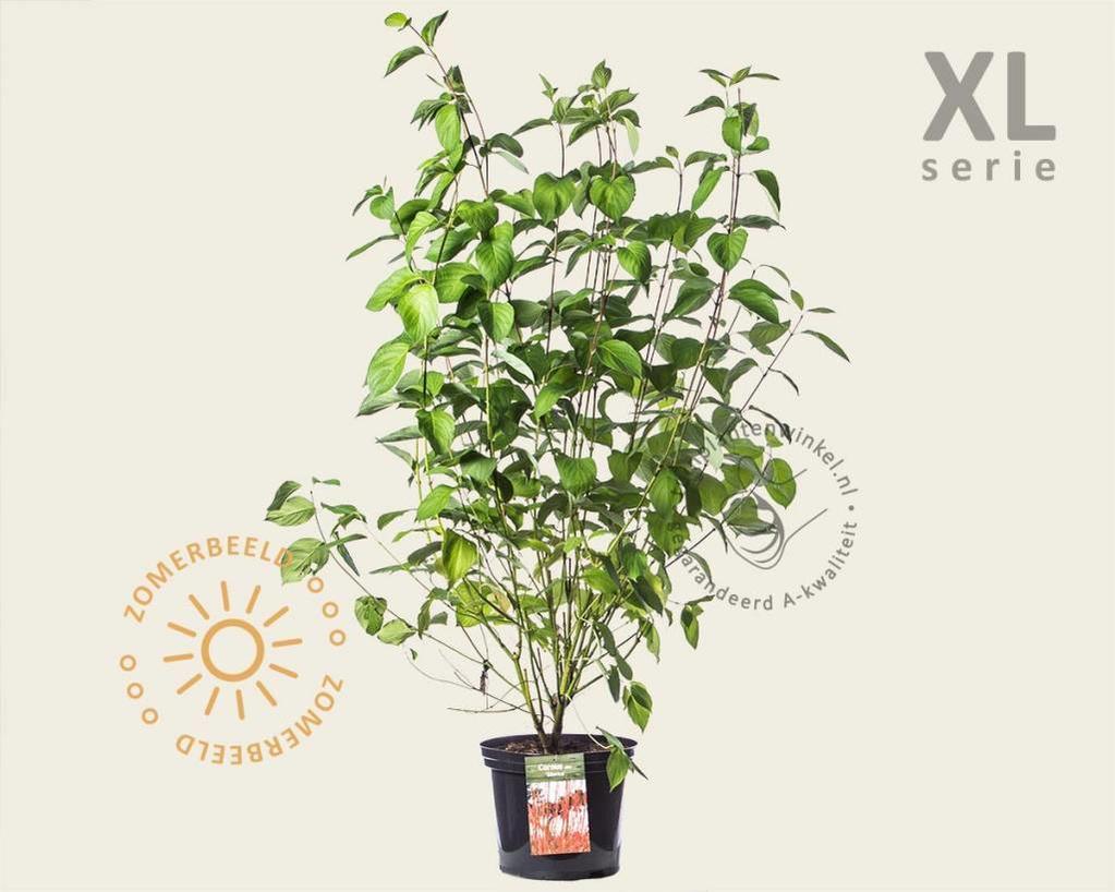 Cornus alba 'Sibirica' - XL