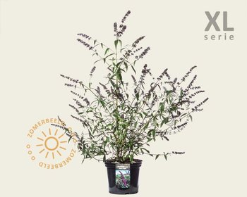 Buddleja davidii 'Black Knight' - XL