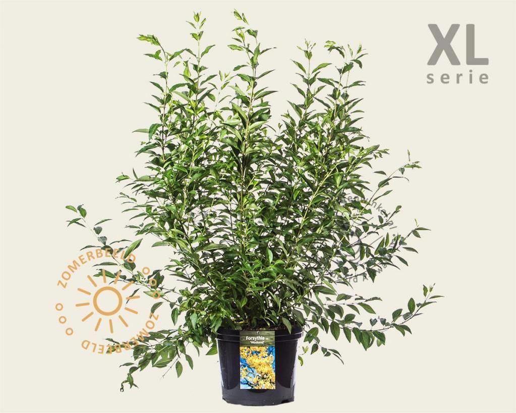 Forsythia intermedia 'Week-End' - XL